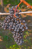 Ripe grape bunches of Cabernet Franc planted at the entrance - Chateau Grand Mayne, Saint Emilion, Bordeaux