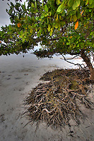 Roots at extreme low tide, Islamorada, Florida Keys