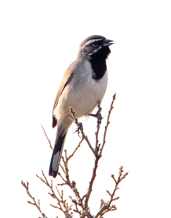Black-throated sparrow singing