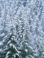 Douglas Fir trees after snowstorm. Near Bellfountain, Oregon.