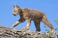 Canada Lynx kitten walking along the top of a rocky ledge - CA
