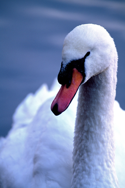 Close-up portrait of Mute Swan, Cygnus olor,  at Lost Lagoon, Stanley Park, Vancouver, BC