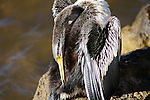 PERTH - 4 April 2010 - An Australasian Darter or Australian Darter (Anhinga novaehollandiae) preens itself on a rocky ledge on the Swan River in Perth. The bird is a species of bird in the darter family, Anhingidae . It is found in Australia, Indonesia, New Zealand, and Papua New Guinea. Picture: Giordano Stolley/Allied Picture Press