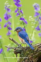 01377-17905 Eastern Bluebird (Sialia sialis) male in flower garden, Marion Co., IL