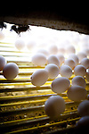 Eggs on a conveyor belt in one of J.S. West's traditional, non-Prop. 2 compliant, cage systems in Atwater, California,  August 11, 2010. California's Proposition 2, passed in 2008, requires that egg-laying hens in California be able to fully extend their limbs, lie down and turn in a circle within their enclosures. .CREDIT: Max Whittaker for The Wall Street Journal.EGGS