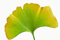 Fall colored Ginko leaf (Ginko biloba). Tigard. Oregon