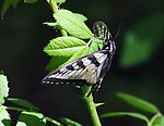 Butterfly seen in Esopus Bend Nature Preserve, in Saugerties, NY on Monday May 11, 2015. Photo by Jim Peppler. Copyright Jim Peppler 2015.