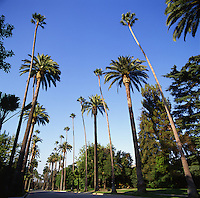 Wide Angle Photo Looking Down a Palm Tree Lined Residential Street in Beverly Hills, Los Angeles, California. Green Lawns and Blue Skies.