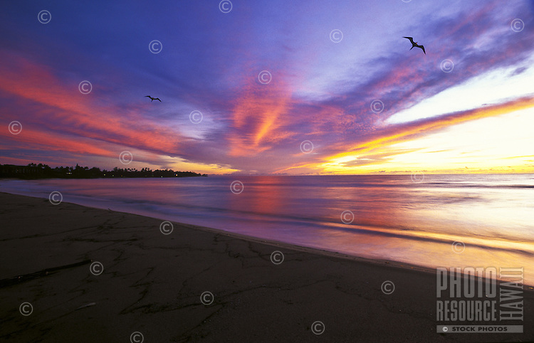 Two iwa birds flying over Wailua beach at sunrise on the island of Kauai