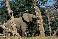 African Elephant bull shaking acacia tree to bring down seed pods which it will then eat.