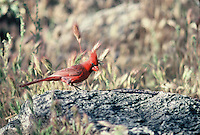 Cardinal seen on the desert floor in southern Arizona