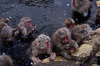 Japanese macaques, a.k.a. Snow Monkeys relax in a hot spring at Jigokudani (Hell Valley) in Nagano Prefecture, Japan. Japanese snow monkeys live in extreme conditions where winter temperatures can drop to -20 c, and they are unique in taking hot bath, known as an Onsen..28 Jan 2011
