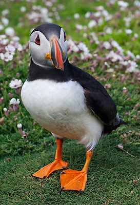 During breeding season, the puffins beak turns a bright orange color.  This bird is standing in a field of thrift groundcover.