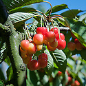 Cherry 'Karmazinka', mid May. A sweet cherry from Czechoslovakia.