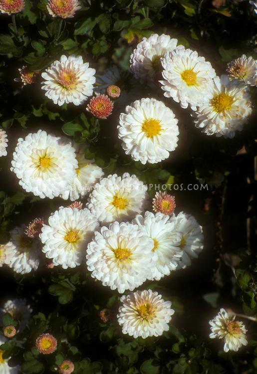 Chrysanthemum Purleigh White flowers