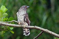 Kuckuck, flügges Küken, Jungvogel, Brutparasitismus, Cuculus canorus, Cucullus canorus, cuckoo