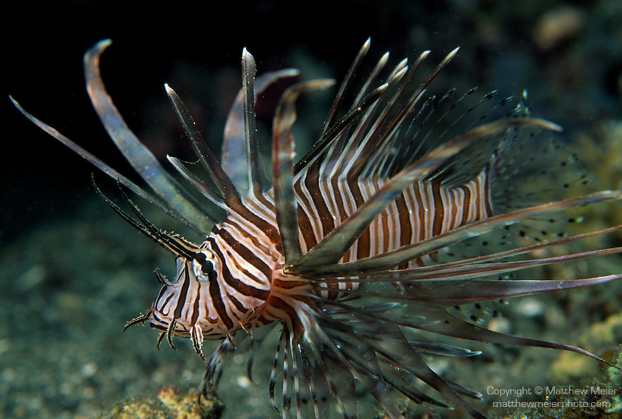 Milne Bay, Papua New Guinea; Common Lionfish (Pterois volitans), also known as Red Lionfish, to 38 cm (15 in.), live in coastal, lagoon and seaward reefs to 50 meters, found in W. Australia and Malaysian Peninsula to Pitcairn Island in S.E. Pacific, S. Japan to Kermadec Island , Copyright © Matthew Meier, matthewmeierphoto.com All Rights Reserved