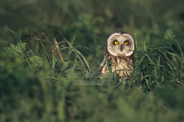 Short-eared Owl (Asio flammeus), adult in grass, Austria