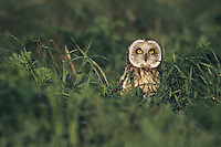 Short-eared Owl (Asio flammeus), adult in grass, Austria