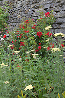 Red roses (Rosa) and yarrow (Achillea) grow next to a stone wall at Haddon Hall