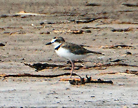 Male collared plover resting on one leg