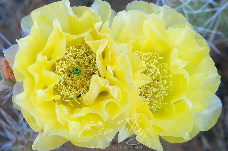 Prickly Pear Cactus Flower (Opuntia phaeacantha), Arches NP, Utah, USA