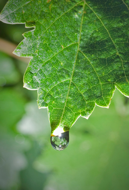 Water droplet forms on cabernet grapevine.