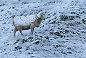 08/12/14<br /> <br /> A snow covered sheep near Castleton.<br /> <br /> After overnight snowfall in Debyshire dawn reveals stunning snowscapes across the Peak District.<br /> <br /> ***ANY UK EDITORIAL PRINT USE WILL ATTRACT A MINIMUM FEE OF &pound;130. THIS IS STRICTLY A MINIMUM. USUAL SPACE-RATES WILL APPLY TO IMAGES THAT WOULD NORMALLY ATTRACT A HIGHER FEE . PRICE FOR WEB USE WILL BE NEGOTIATED SEPARATELY***<br /> <br /> <br /> All Rights Reserved - F Stop Press. www.fstoppress.com. Tel: +44 (0)1335 300098