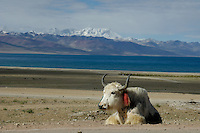 Yaks at Lake Namtso which is the highest saltwater lake in the world at an elevation of 4870 meters. Domesticated yaks have been kept for thousands of years, primarily for their milk, fibre and meat, and as beasts of burden. Their dried droppings are an important fuel, used all over Tibet, and are often the only fuel available on the high treeless Tibetan Plateau