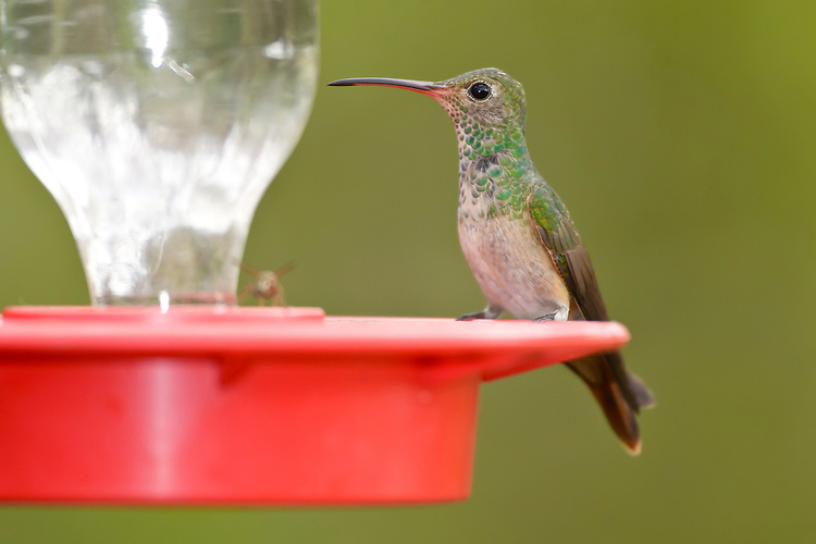 Buff-bellied Hummingbird - Amazilia yucatanensis - Adult female