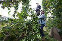05/09/14 <br /> <br /> Hop Picking<br /> <br /> Thanks to ideal growing conditions over the summer, Britain's hop harvest is set to be a bumper crop.<br /> <br /> Picking stopped early yesterday at Stocks Farm, Worcestershire, as the 'Heath Robinson' style 1962 Bruff hop picking machine was overwhelmed by the volume of hops coming in from the 100 acres of hops the farm grows.<br /> <br /> The golding hops are the first to picked this year from the bines that are strung up on a total of 550 miles of twine that stretch across the farmland near the Malvern Hills. &quot;That's enough to make 46m pints of craft ale&quot; said farmer and hop expert Ali Capper.<br /> <br /> The farm grows a variety of hops supplying national brewers including Fullers, Greene King, St Austell and Marston's, and hundreds of craft breweries and brewers in the UK and USA.<br /> <br /> &quot;We've had perfect growing conditions this year, a lovely warm summer and even rainfall. The whole crop is looking wonderful and the aromas are much better than last year,<br /> <br /> &quot;It should be a bumper crop - but we can't be sure until it's all in&quot;<br /> <br /> &quot;The demand from small brewers is rising each year&quot; added Ali<br /> <br /> &quot;This year we'll be selling 100 gram bags for home brewers too - that's enough to brew at least 20 pints. <br /> <br /> In 2013 almost half of all British hops were exported to to the USA - and this figure is still rising&quot; she said.<br /> All Rights Reserved - F Stop Press.  www.fstoppress.com. Tel: +44 (0)1335 300098