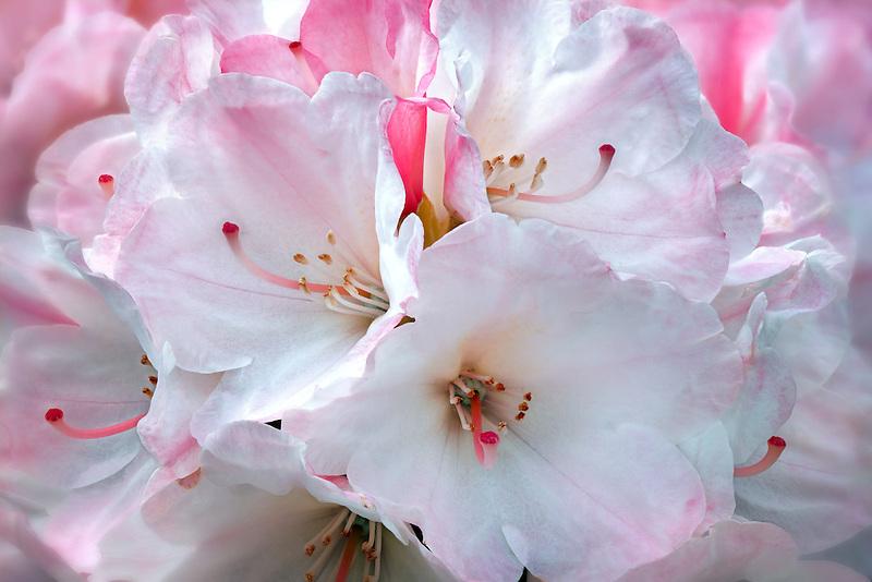 Close up of Rhododendron blossoms -Yaku Sunrise. Oregon