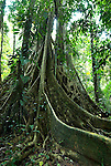 Strangler Fig, Ficus sp, Manu, Peru, tropical jungle, primary forest, large roots.South America....
