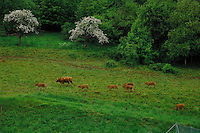 Bull and cows in field Aschaffenburg, Germany.