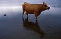 1/03/98 - LA GODIVELLE - CANTAL - FRANCE - Vache AUBRAC - Photo Jerome CHABANNE