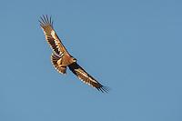 Steppe Eagle - Aquila nipalensis