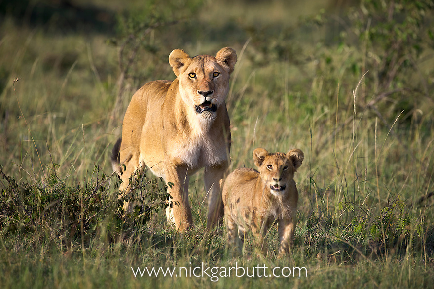 Female Lion (Panthera leo)  with her 5-6 month old cub. Ol Kinyei Conservancy, Masai Mara Game Reserve, Kenya.