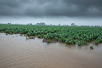 Waterlogged cauliflower follwing heavy rain - Lincolnshire, June