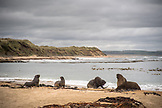 NEW ZEALAND, The Catlins, Sea Lions fight on a Beach in the Catlins, Ben M Thomas