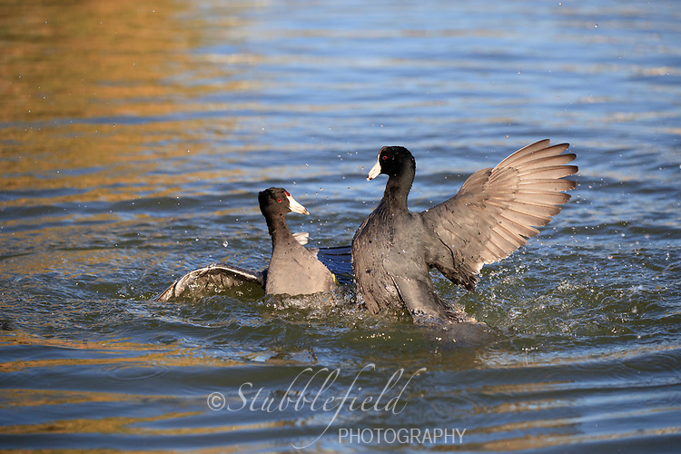 American Coot (Fulica americana americana), in breeding plumage fighting in a lake in Papago Park in Phoenix, Arizona.