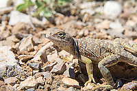 Collared and Leopard Lizards (Crotaphytidae)