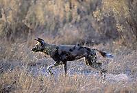 Wilde hond (Lycaon pictus)