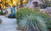 Muhlenbergia rigens Deer grass with Justicia spicigera by demonstration garden in The Living Desert Garden, Palm Springs, California.