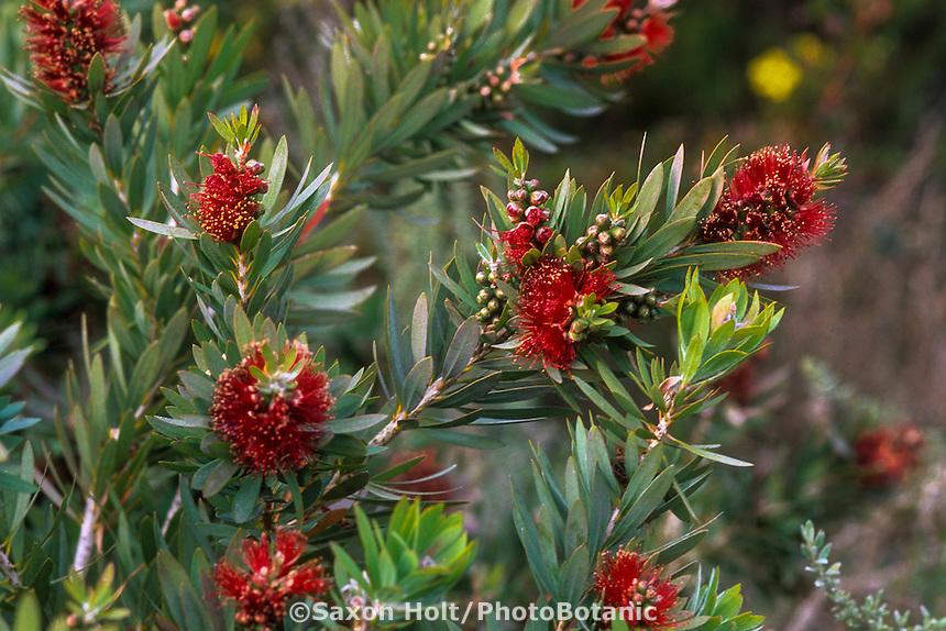 Callistemon viminalis 'Little John' (Weeping Bottlebrush) shrub with red flowers
