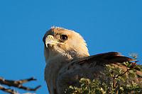 Tawny eagle portrait.