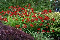 Crocosmia 'Lucifer' (Crocosmia masoniorum × Crocosmia paniculata) red flowering Montbretia (aka Crocosmia crocosmiiflora) in shrub border, Seattle Washington, Stacie Crooks design
