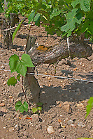 "A vine growing from the root stock part of a grafted cabernet vine. This young vine branch grows from the underground American root half of the vine which carries the European fruit carrying upper part of the old grafted vine. This vine is ""parasitic"" and has to be removed.  Chateau Kirwan, Cantenac  Margaux  Medoc  Bordeaux Gironde Aquitaine France"