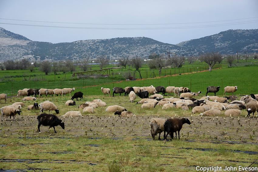 Milk sheep in Lasinthos, Lasithi Plateau, Crete, Greece.