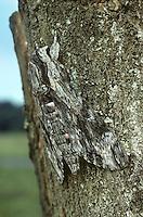 Convolvulus Hawkmoth - Agrius convolvuli