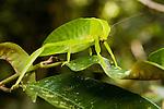 Katydid (Itarissa sp), Tawau Hills Park, Sabah, Borneo, Malaysia